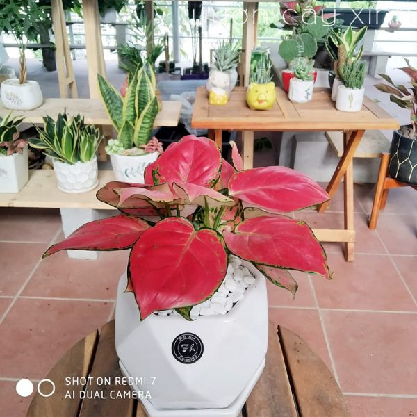 Cây Vạn Lộc Để Bàn | Cây Phong Thủy | Vườn Cây Xinh
