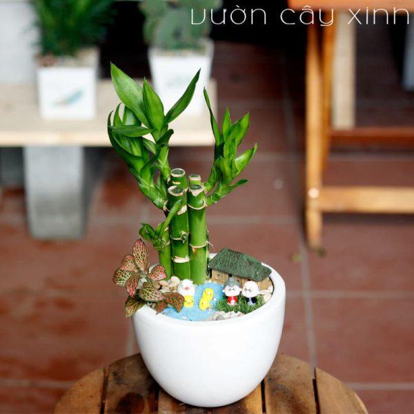 Cây trúc phú quý để bàn - Cây phong thủy   Vườn Cây Xinh