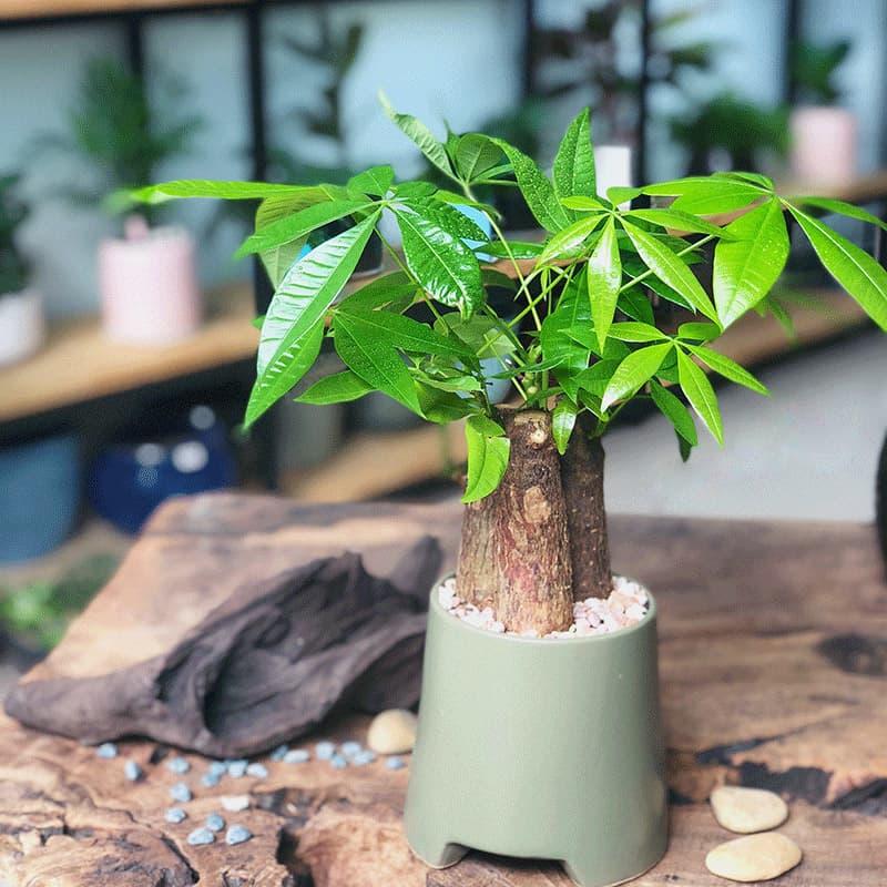 Cây kim ngân để bàn - Vườn cây xinh