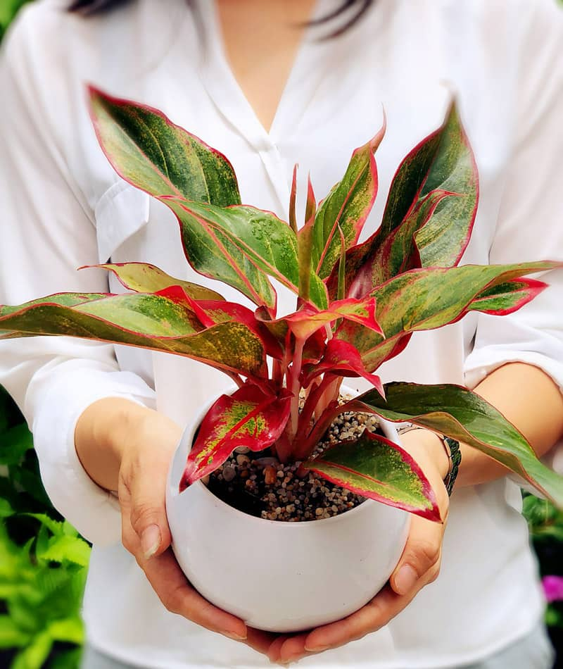 Cây phú quý đỏ để bàn | Phú quý lá đỏ - Vườn cây xinh