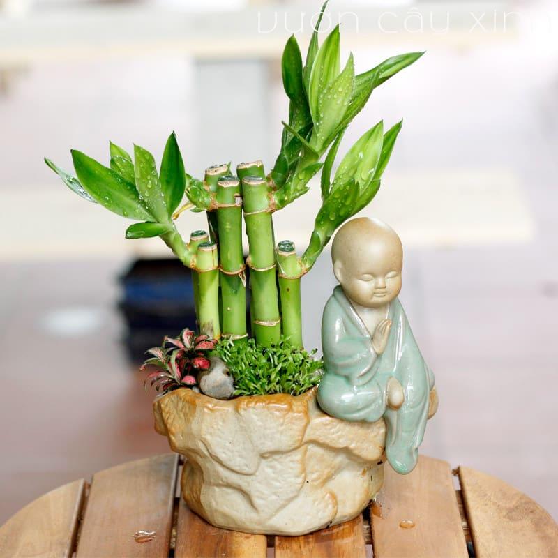 Cây trúc phú quý để bàn - Cây phong thủy | Vườn Cây Xinh