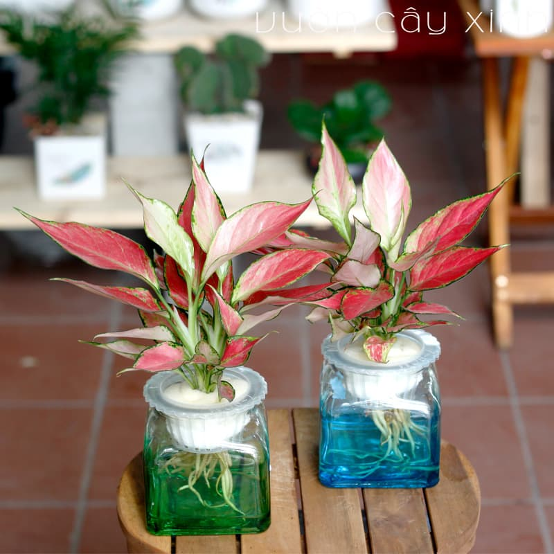 Cây Vạn Lộc Thủy Sinh Để Bàn | Cây Phong Thủy | Vườn Cây Xinh