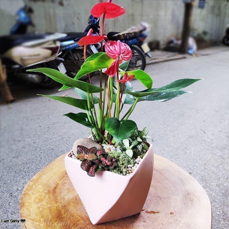 Cây hồng môn để bàn mini - Vườn cây xinh