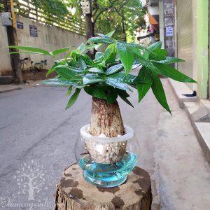 Cây kim ngân thủy sinh để bàn - Vườn cây xinh