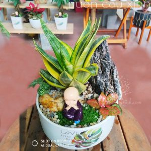 Cây lưỡi hổ để bàn - Cây phong thủy | Vườn Cây Xinh