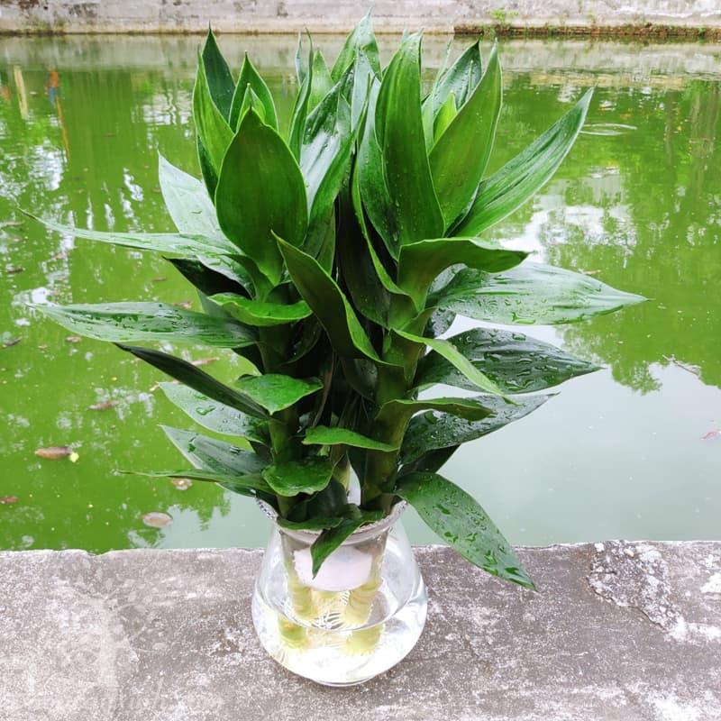 Cây phát lộc thủy sinh để bàn - Vườn cây xinh