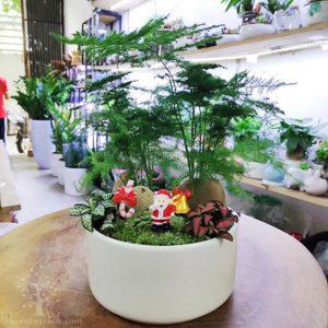 Cây thủy tùng để bàn làm việc giá rẻ - Vườn cây xinh