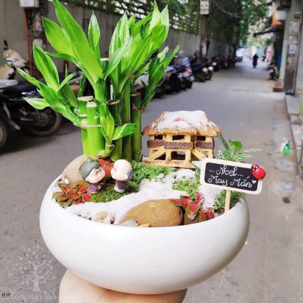 Cây trúc phú quý để bàn đẹp - Vườn cây xinh