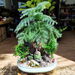 Cây tùng bách tán để bàn - Vườn cây xinh