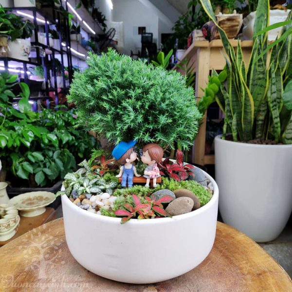 Cây tùng bồng lai để bàn mini - Vườn cây xinh