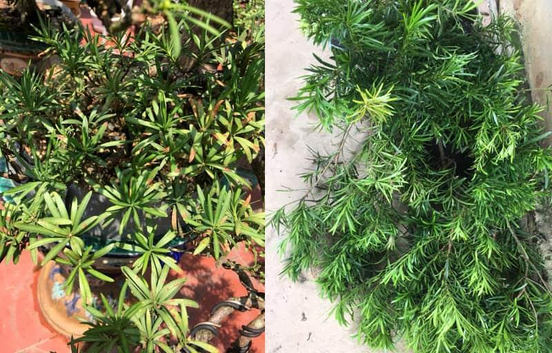Tùng la hán bị khô ngọn - Vườn cây xinh