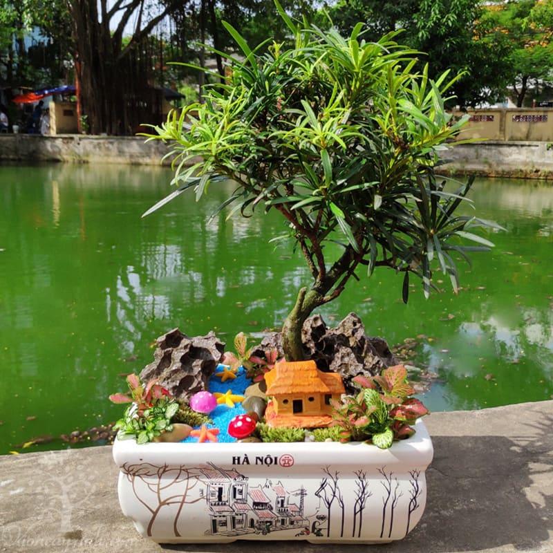 Tùng la hán để bàn | Tùng la hán bonsai - Vườn cây xinh