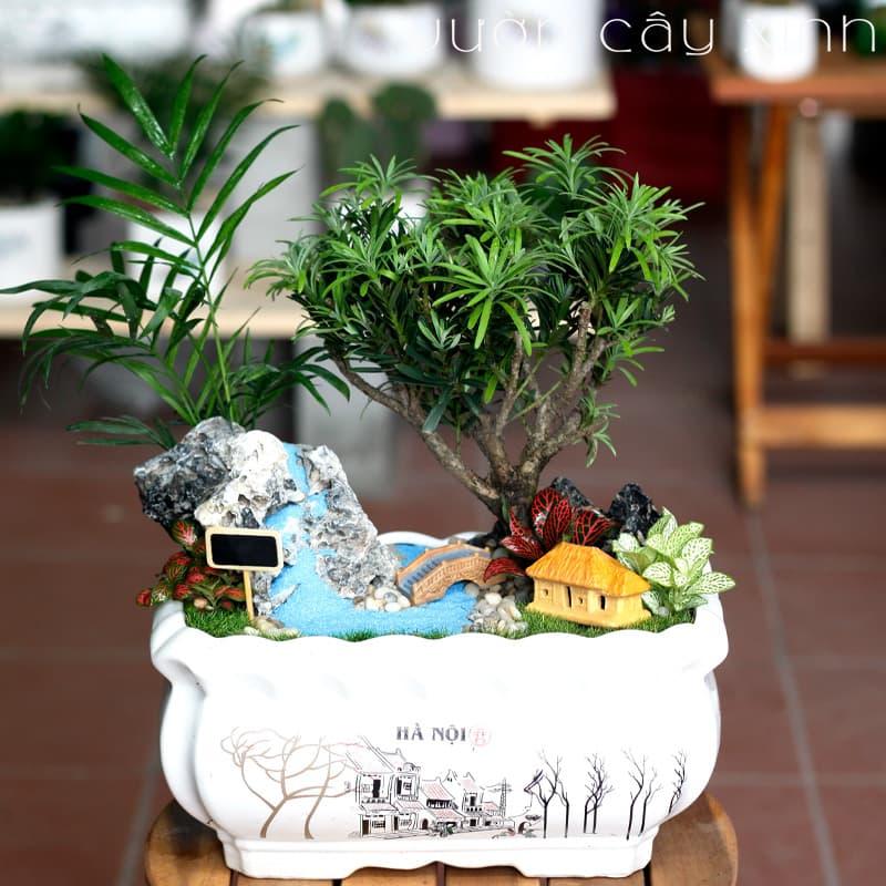 Tùng la hán để bàn | Cây phong thủy - Vườn Cây Xinh