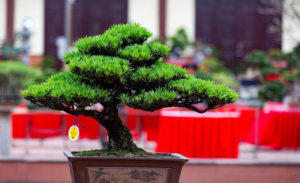 Tùng la hán bônsai để bàn - Vườn cây xinh