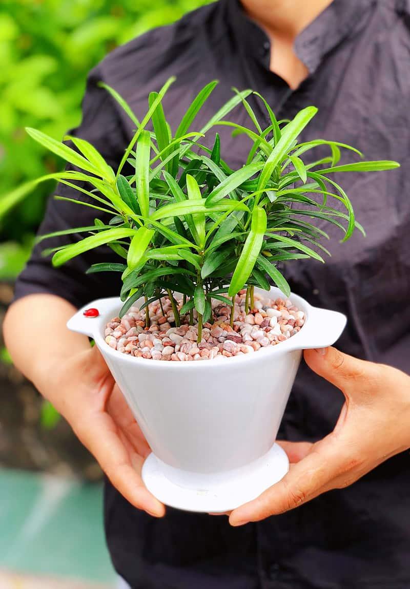 Tùng la hán để bàn - Vườn cây xinh