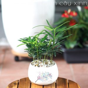 Tùng la hán để bàn   Cây phong thủy - Vườn Cây Xinh