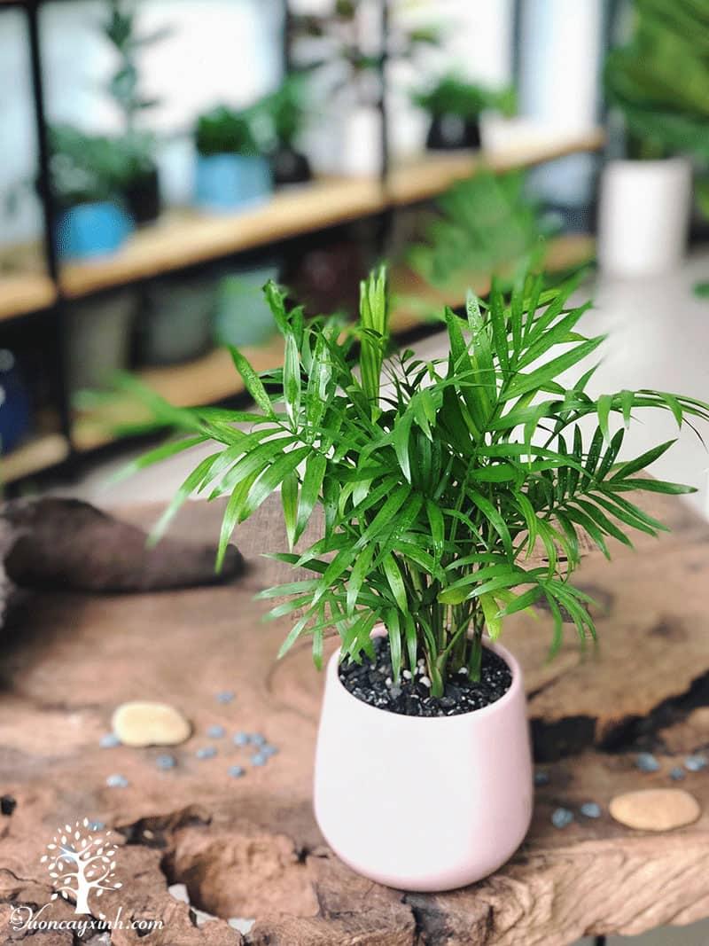 Cây cau tiểu trâm để bàn - Vườn cây xinh