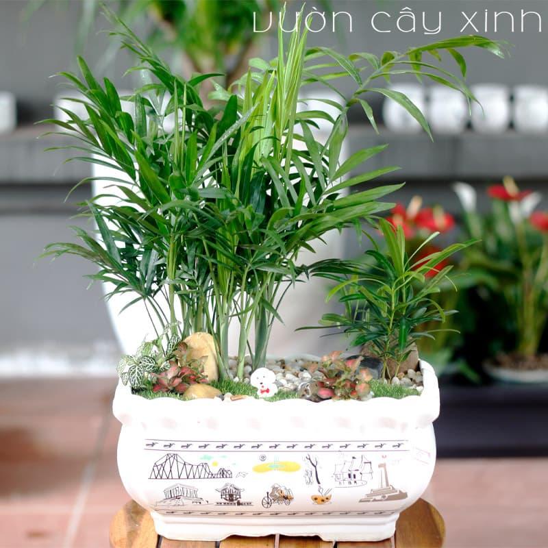 Cau tiểu trâm để bàn | Vườn Cây Xinh