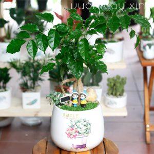 cây hạnh phúc để bàn - Vườn Cây Xinh