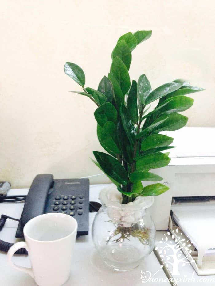 Cây kim tiền thủy sinh - Vườn cây xinh