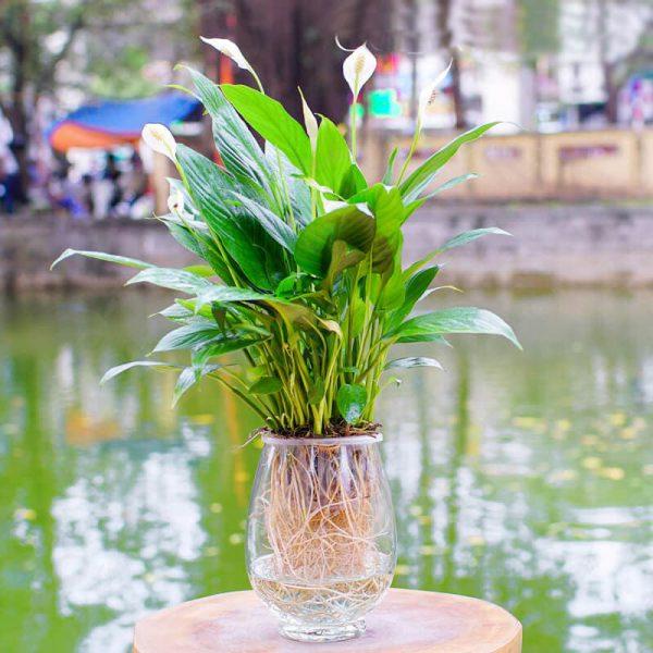 Cây lan ý thủy sinh - Vườn Cây Xinh