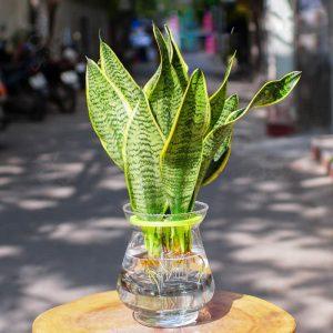 Cây lưỡi hổ thủy sinh để bàn | Vườn cây xinh