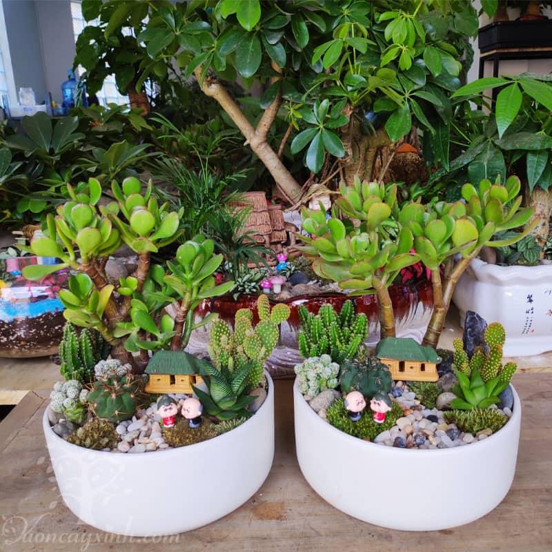 Cây ngọc bích để bàn - Vườn cây xinh