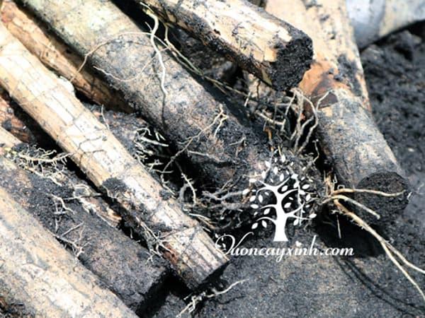Cây phát tài (thiết mộc lan) bị thối rễ - Vườn cây xinh