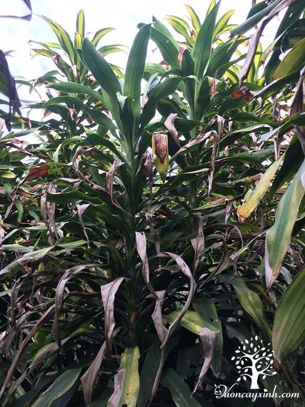 Cây phát tài (thiết mộc lan) bị vàng lá - Vườn cây xinh