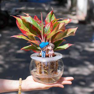 Cây phú quý thủy sinh để bàn - Vườn cây xinh