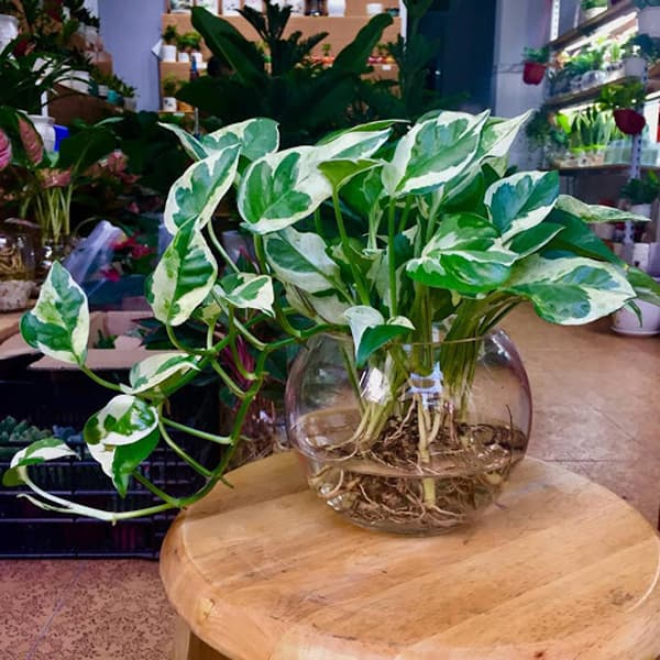 Cây thủy sinh để bàn đẹp - Vườn cây xinh