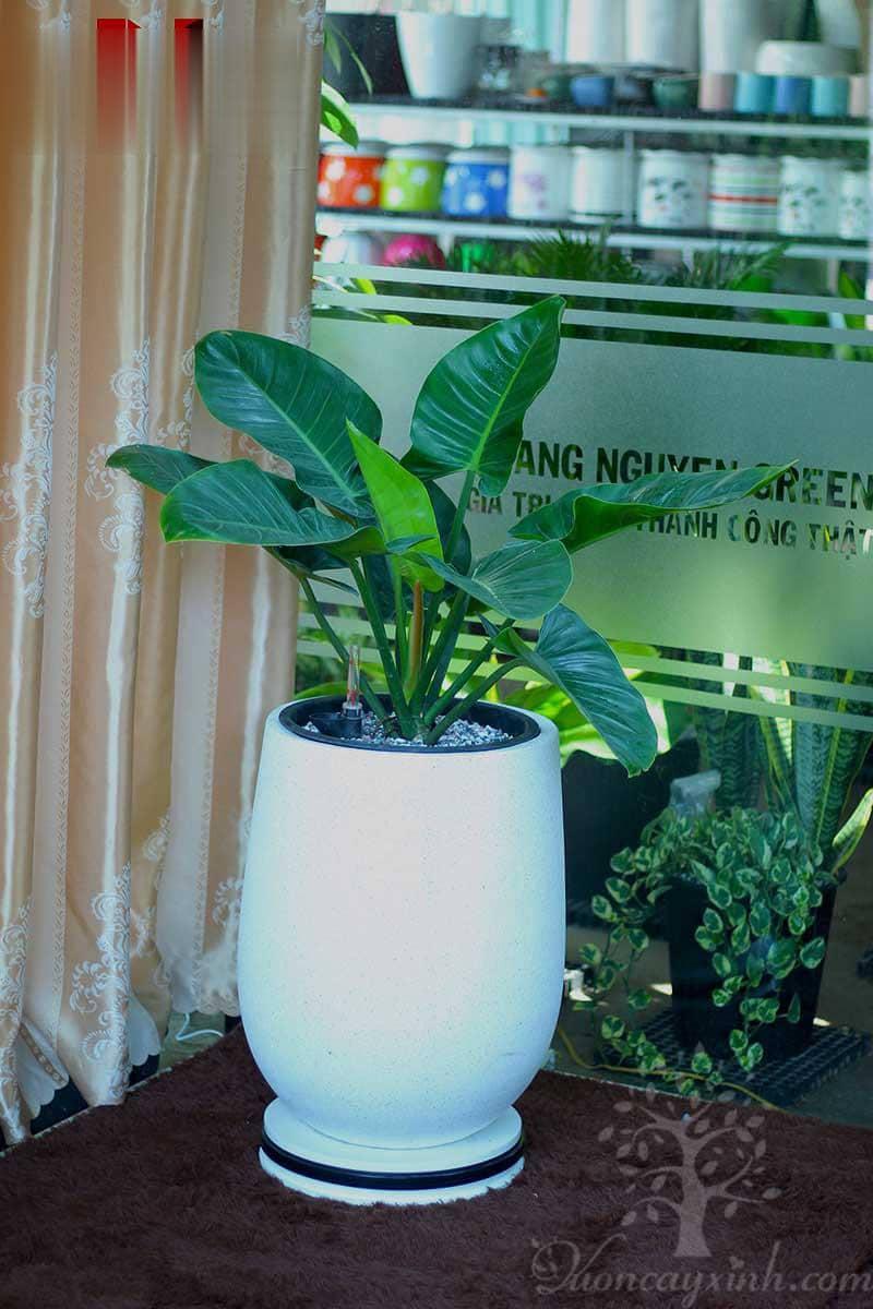 Cây trầu bà đế vương để văn phòng - Vườn cây xinh