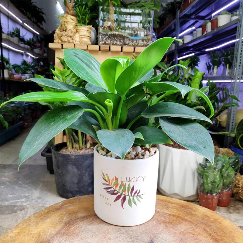 Cây Trầu Bà Đế Vương để bàn | Cây phong thủy » Vườn Cây Xinh