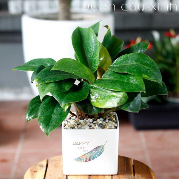 Cây trầu bà đế vương để bàn | Vườn Cây Xinh