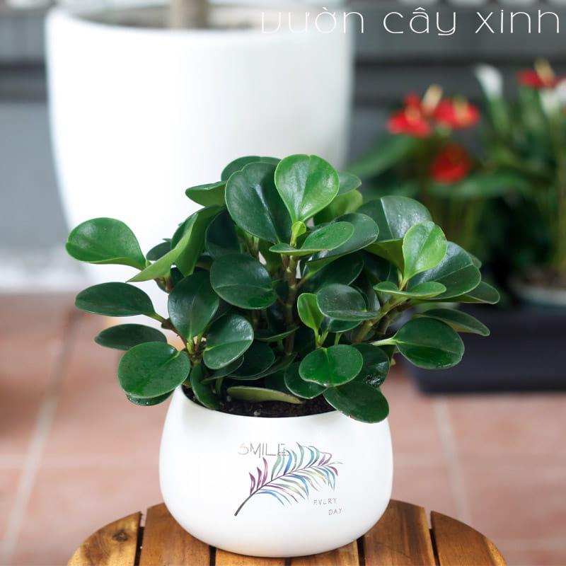 Cây trường sinh để bàn   Vườn Cây Xinh