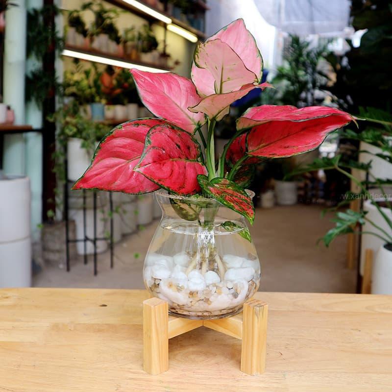Cây vạn lộc thủy sinh - Vườn Cây Xinh