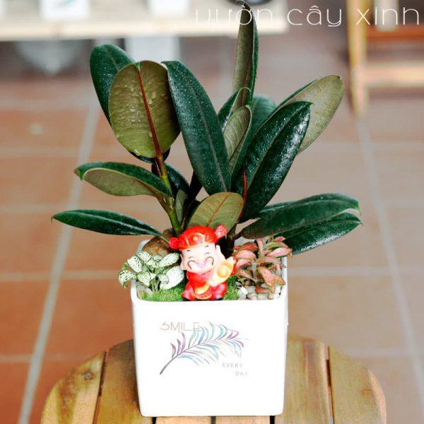 Cây đa búp đỏ để bàn | Vườn Cây Xinh