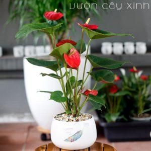 cây hồng môn để bàn - Vườn Cây Xinh