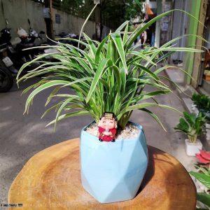 Cây lan chi để bàn (Cỏ lan chi) - Vườn cây xinh