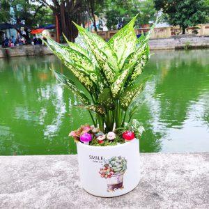 Cây ngọc ngân để bàn - Vườn cây xinh