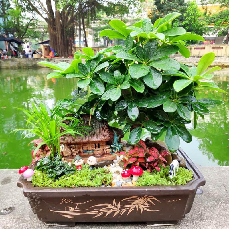 Cây Ngũ Gia Bì để bàn - Vườn cây xinh