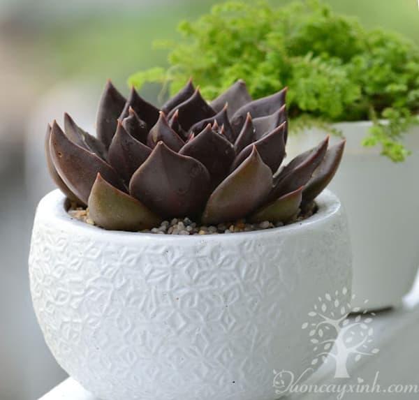 Sen đá nâu (Sen đá socola) - Vườn cây xinh