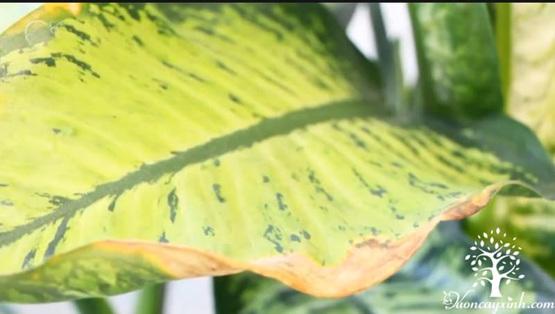 Cây vạn niên thanh bị vàng lá - Vườn cây xinh