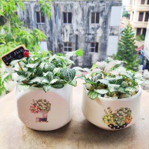 Cây cẩm nhung để bàn | Vườn cây xinh