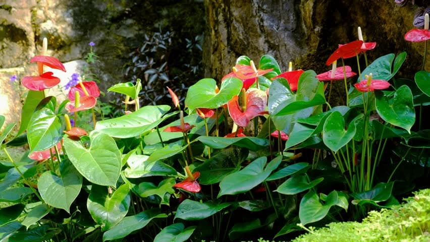 Cây hồng môn thủy sinh để bàn - Vườn cây xinh