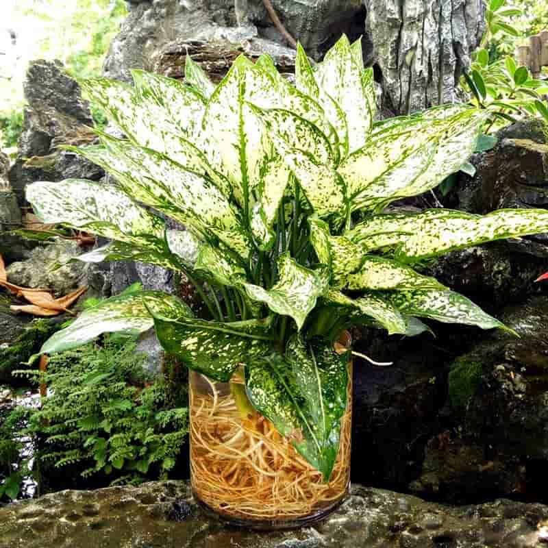 Cây ngọc ngân thủy sinh để bàn - Vườn Cây Xinh