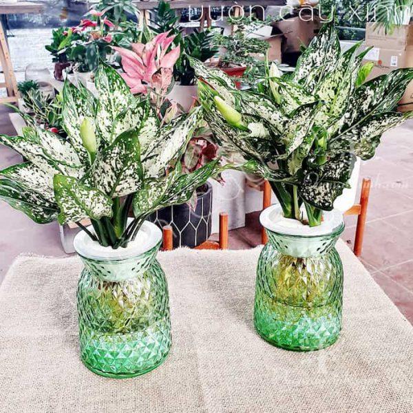 Cây ngọc ngân thủy sinh   Vườn Cây Xinh