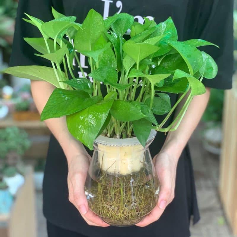 Cây vạn niên thanh thủy sinh để bàn - Vườn Cây Xinh