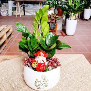 Cây kim tiền để bàn làm việc | Vườn Cây Xinh