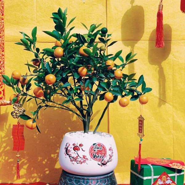 Cây quất ngày Tết đẹp | Vườn Cây Xinh